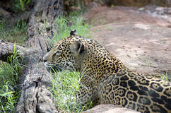 Leopard in a zoo Stock Images
