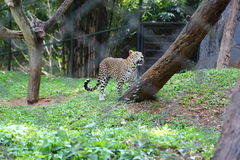 Leopard. In the zoo from India Royalty Free Stock Image