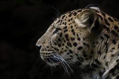Leopard snow, big cats. Leopard zoo jihlava czech republic black background on winter royalty free stock photo