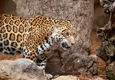 Leopard in a zoo Loro Parque Stock Photos