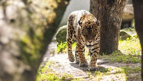 Leopard. In the Zoo.nnWarsaw, Poland.nn2017 stock images