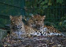 Leopard2 Stock Image