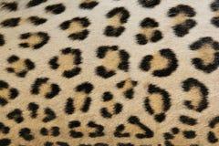 Leopardbakgrund av hud och rosetter - afrikan P Arkivfoto
