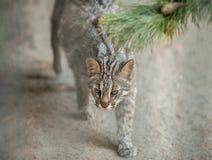 Leopardbengal-Katze Prionailurus-Felis bengalensis euptilura - wildes Tier leben im tropischen Regen Kleines Tigers?ugetier stockfotos