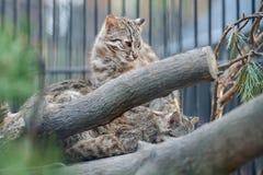 Leopardbengal-Katze Prionailurus-Felis bengalensis euptilura - wildes Tier leben im tropischen Regenwald, S?dostasien lizenzfreies stockfoto