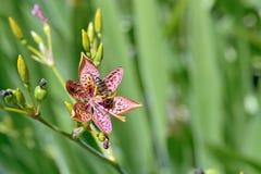 Leopardblume auf dem grünen Hintergrund des Gartens verlässt Stockfoto