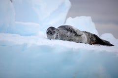 Leoparddichtung auf Eisberg, Antarktik Lizenzfreie Stockbilder