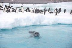 Leoparddichtung, die nahe Adelie-Pinguinen patrouilliert Lizenzfreie Stockbilder