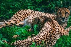 Leoparden, die in das Gras streicheln lizenzfreies stockfoto