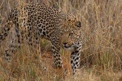Leoparden dyker upp från busken i Namibia Fotografering för Bildbyråer