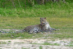 Leoparden i Sri Lanka Royaltyfri Fotografi