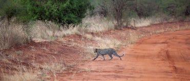 Leoparden korsar vägen i Kenya Royaltyfri Fotografi
