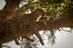 Leoparden ligger dingla ben ner från filial arkivbilder