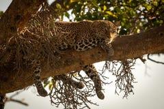 Leoparden ligger på filial med att dingla för ben fotografering för bildbyråer