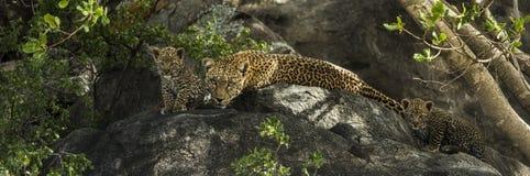 Leoparden och hennes gröngölingar som vilar på, vaggar, Serengeti, Tanzania royaltyfri foto