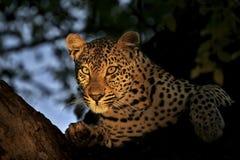 Leoparden poserar i träd Fotografering för Bildbyråer