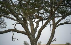 Leoparden som är hög upp i trädet som ser lämnat, med att dingla, lägger benen på ryggen arkivfoto