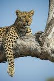 Leopardess στο δέντρο Στοκ Φωτογραφίες