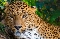 Leopardess Royalty Free Stock Photos