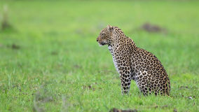 Leopardess in field of green Stock Photo