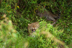 A leopardess protects the children Stock Photography