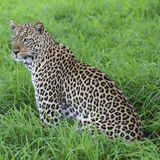 Leopardess sitting in grass Royalty Free Stock Photos