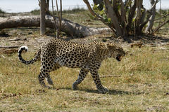 African Leopard Snarling Royalty Free Stock Photo