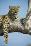Leopardess in tree Stock Photos
