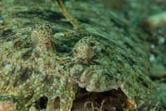 Leopardflundra i Ambon, Maluku, Indonesien undervattens- foto Royaltyfria Bilder