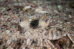 LeopardflundraBothus pantherinus i Gorontalo, Indonesien undervattens- foto Arkivbilder