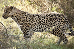 leopardflyttning Royaltyfri Foto