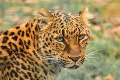 Leopardframsida Arkivbild