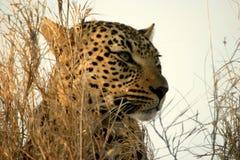 Leopardfrau Stockfotografie