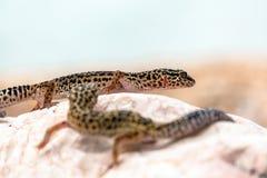 Leopardgeckoödlan vaggar på Royaltyfria Bilder