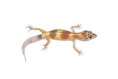 LeopardGecko Lizenzfreie Stockfotografie