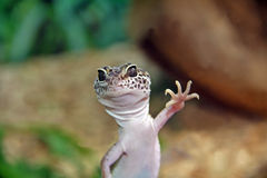 Leopardgecko. One Leopardgecko looks at the cam stock images