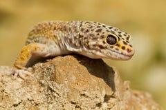 LeopardGecko arkivbilder