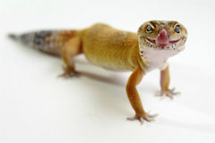 LeopardGecko Royaltyfria Bilder