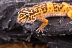 Leopardgecko Stockbild