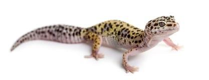 Leopardgecko stockfotos