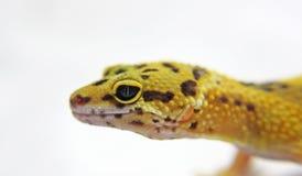 Leopardgecko stockfoto