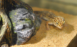 Leopardgecko i akvarium Arkivfoto