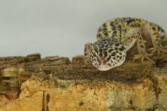 Leopardgecko på trä Arkivfoto