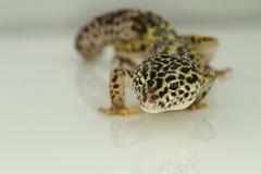 Leopardgecko som isoleras på vit bakgrund Arkivfoton