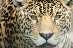 Leopardgesicht Lizenzfreie Stockfotos