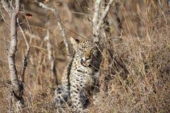 Leopardgröngöling Royaltyfria Foton