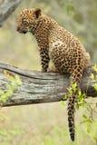 Leopardgröngöling Arkivbilder