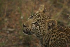 Leopardgröngölingstirrande Royaltyfri Foto