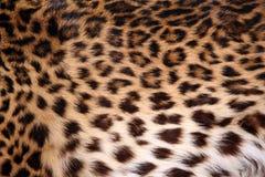 leopardhud Arkivfoto