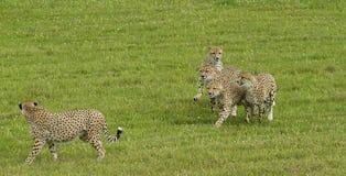 leopardi Immagine Stock
